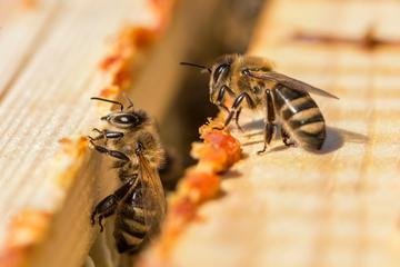 pikkelysömör kezelése méhpempővel)