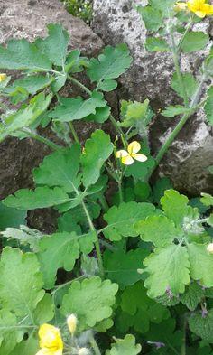 kaktusz gyógyítja pikkelysömör
