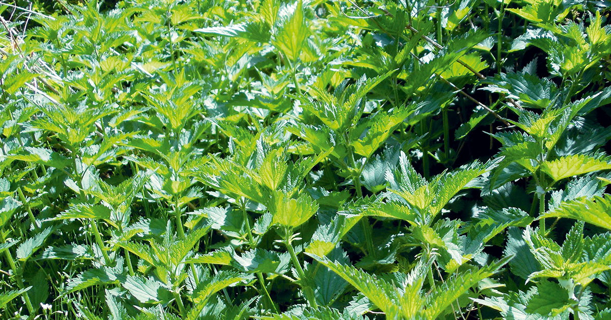 Nyirokrendszer tisztítása gyógynövényekkel - HáziPatika