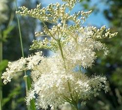 meadowsweet pikkelysömör kezelése