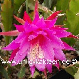 epiphyllum a pikkelysmr kezelsben)