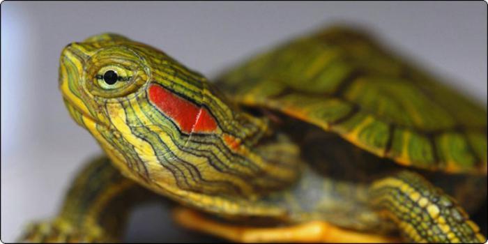 a teknős hasán piros foltok vannak