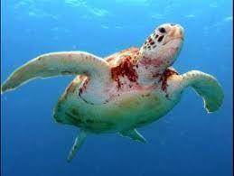 a teknős hasán piros foltok vannak)