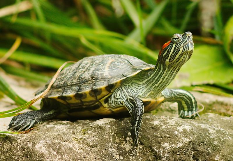 vörös foltok a teknős hasán vörös foltok a hámlástól, hogyan lehet eltávolítani