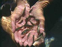 pikkelysömör kezelése halakkal