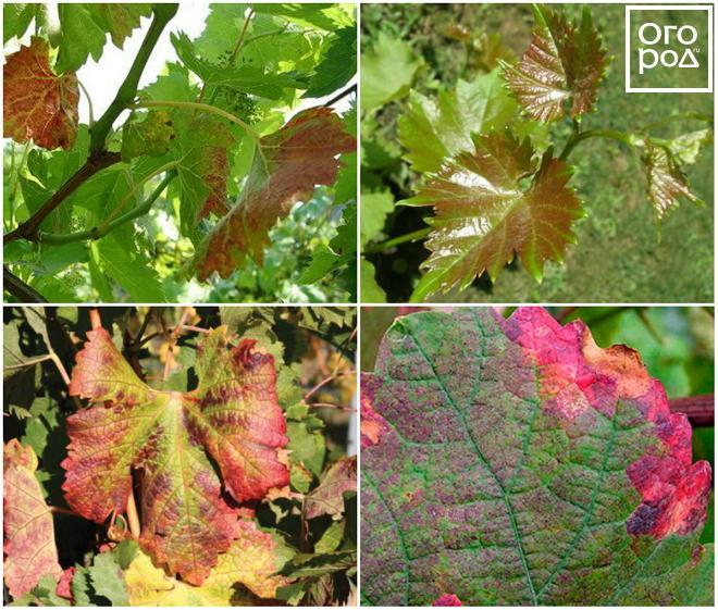 Piros levelek a szőlő. Biotikus és abiotikus okok.
