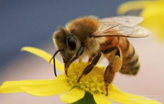 méh pollen kezeli a pikkelysömör